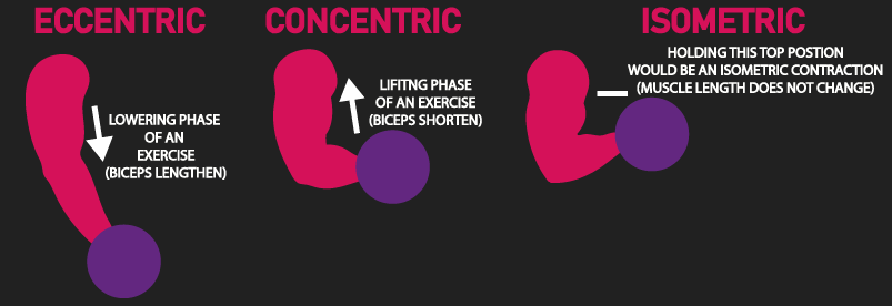 eccentric, concentric, and isometric contraction