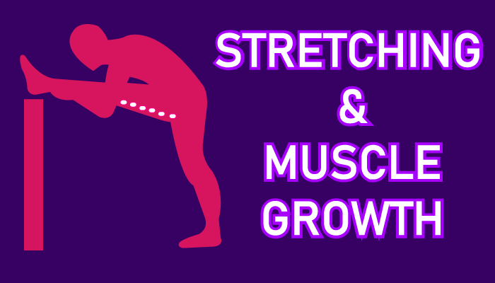 does stretching build muscle