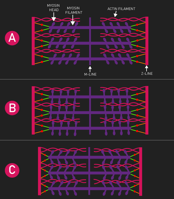 sarcomere muscle contraction