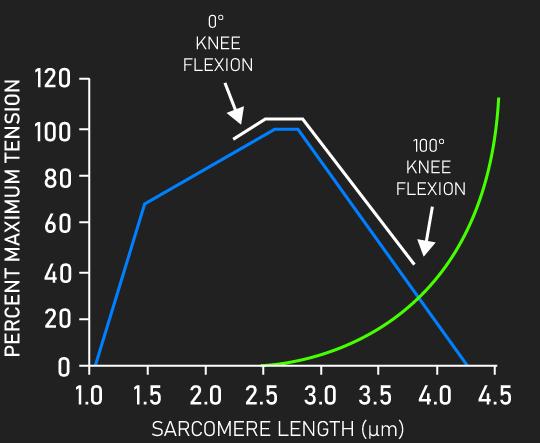 vastus lateralis length-tension relationship