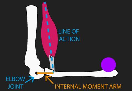 biceps brachii internal moment arm