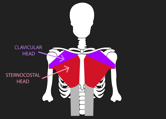 clavicular and sternocostal heads