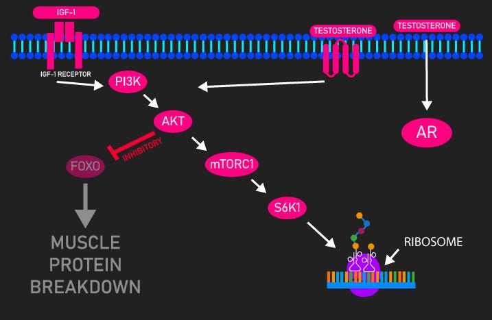 IGF-1 and testosterone PI3K/AKT/mTOR activation