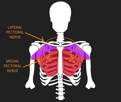 pectoralis major nerve supply