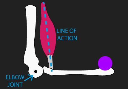 biceps brachii line of action