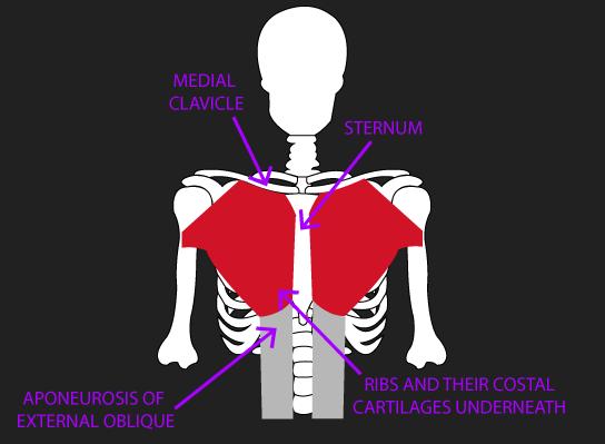 orgins of pectoralis major