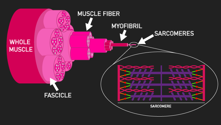 hierarchial layers of a muscle