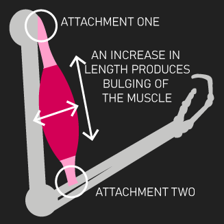 increase in whole muscle length
