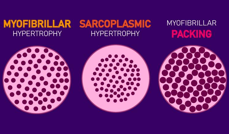 myofibrillar hypertrophy vs sarcoplasmic hypertrophy vs packing