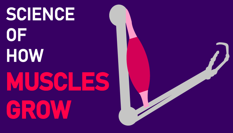 science of how muscles grow