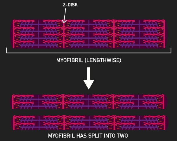 myofibril splitting