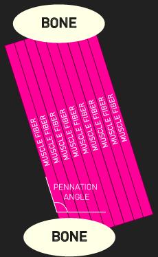 pennation angle