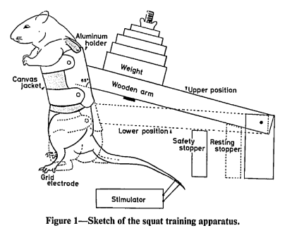 rat squatting